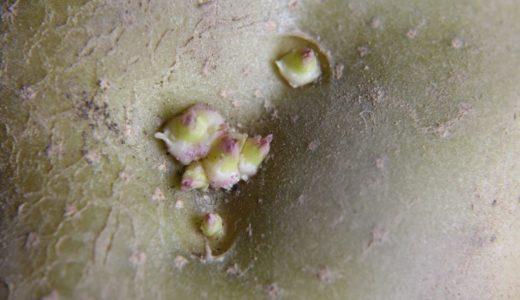 保存中に芽が出てしまったジャガイモ。早めに芽を欠くことが大切。